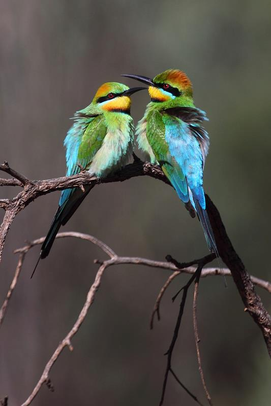 "x-otica:  Image source: Rainbow Bee Eaters !! by David Kleinert Photography ~ ""The earth has music for those who listen"""