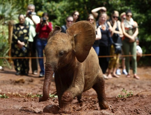 theanimalblog:  An orphaned baby elephant walks through mud as tourists take pictures at the David Sheldrick Wildlife Trust Nursery within Nairobi National Park, near Kenya's capital Nairobi.  Picture: REUTERS/Darrin Zammit Lupi