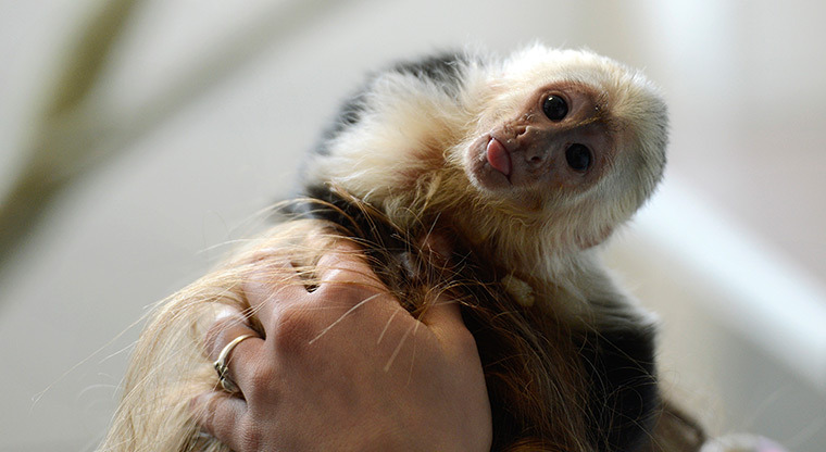 guardian:   Munich, Germany: a capuchin monkey belonging to singer Justin Bieber is now at a home for animals in the city after it was confiscated by the German customs authority for arriving without health documents Photograph: Christof Stache/AFP/Getty Images