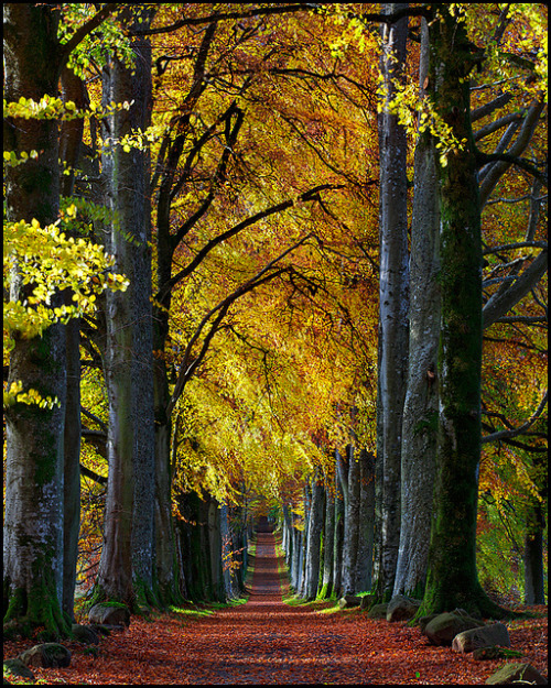justeeen:  visitheworld:  Autumn beech avenue to Drummond Castle, Scotland (by Stuart-Low).  FUHHHHHH I want so bad