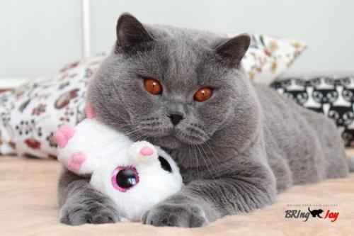 british shorthair britishshorthair BRI cat breeds cat breed cat color cat colors Grey Cat blue cat chubby chubbies chubby cat cat meow mostlycatsmostly adorable cute