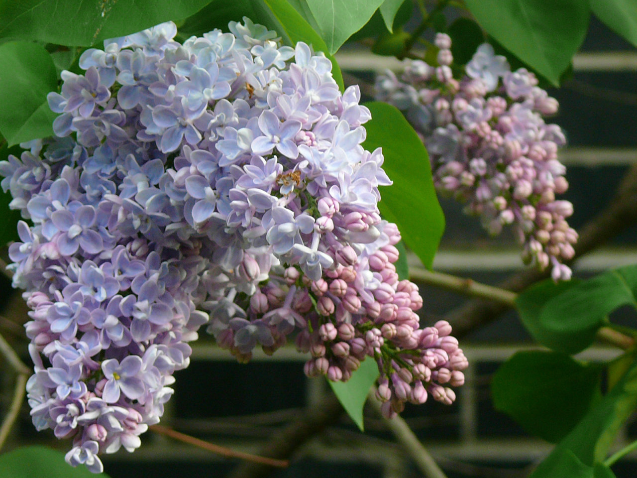 naturesdance:  The lilacs at my place are blossoming. They're perfuming the air so wonderfully that I wish I could capture and share the scent along with the photo :)