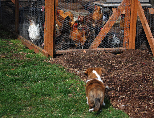 Corgi puppy Friday! Caleb vs the chickens. Chickens win ;)