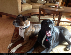 Bronson, my Boxer and Dexter, my grandson trying so hard to be good while their dads are just outside where they want to be! We rescued Bronson from the local shelter. No one was wanting him because he had heart worm. We fell in love with him and thought he deserved a chance so we brought him home. We, through the advice of the vet put him on regular monthly heart worm medicine and a year later he tested negative…YAY!!! He is the biggest baby, lap dog and lover. So glad that he's a part of our family!  ZeErZa profile on aplacetolovedogs  To get your own profile page on aplacetolovedogs click here
