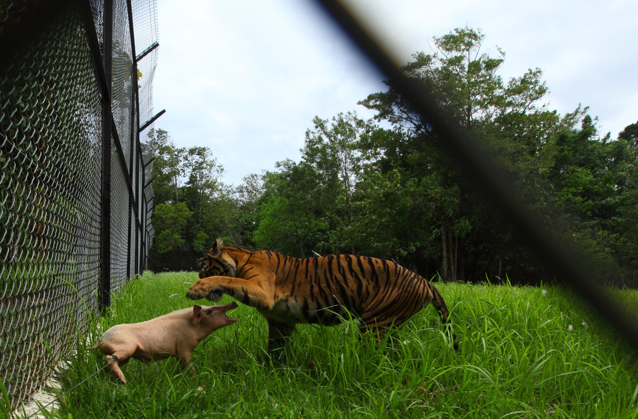 This was feeding day, so I chose the largest tiger to take pictures of. Despite being caged up, he still maintained the instincts of being in the wild. I waited for the animal keeper to feed the tiger.  The keeper grabbed the feet of the pig, which typically weighs between 10 and 12 kilograms, and released the animal into the cage. The tiger ran toward the pig and lifted his paw in what seemed like an attempt to kill his prey. But in fact, the tiger was playing with the animal before killing it. The tiger turned around and walked away. Oh I didn't get pictures. It happened a few times. I was still waiting, then the tiger stopped in front of the pig, stuck out his tongue as if he was savoring the moment. Surprisingly, he looked at me like he knew I was taking pictures. Then he walked away. He didn't kill the pig. Shortly after that moment, the tiger keeper Rizal cut the rope and the pig ran away. The tiger caught him around 100 yards from me, hidden away in the tall grass. I couldn't see how the tiger killed his prey. I just saw the carcass. PHOTO BLOG: The tiger, the pig and the cage