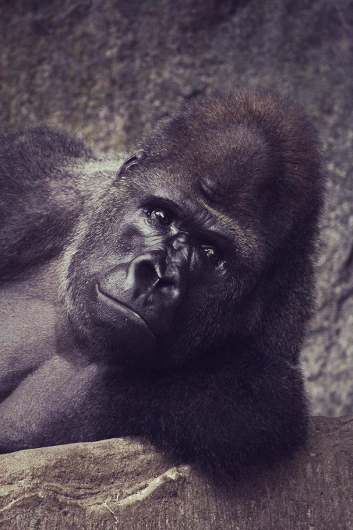 earthandanimals:  Silver Back Gorilla *This is my own photography*
