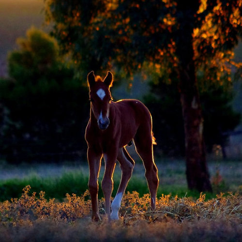 redwingjohnny:  Evening foal by Penny Kittel