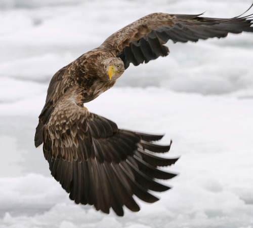 animals-animals-animals:  White-tailed Eagle (by Harry Eggens)