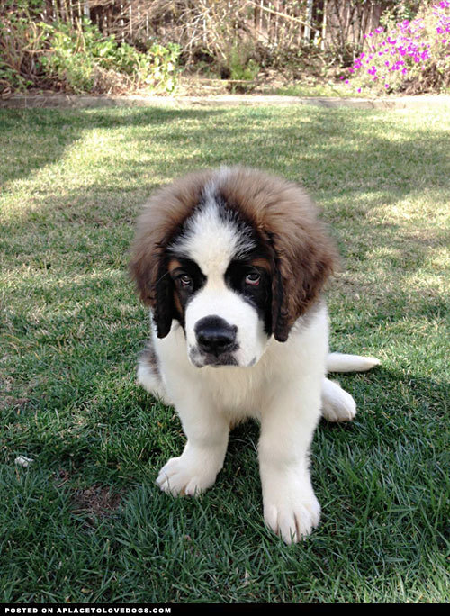 Adorable 3 month old Saint Bernard puppy Zues…. cool 'fro dude! For more cute dogs and puppies