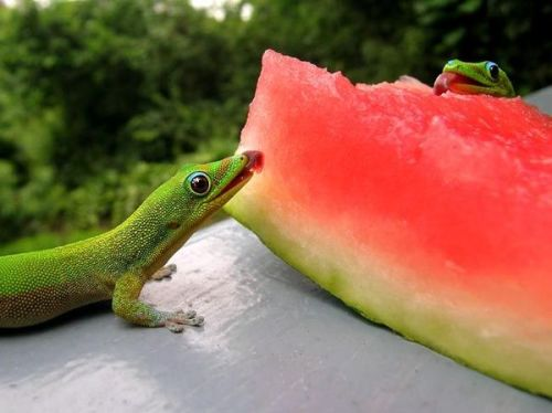 lizardsenjoyinglife:  Enjoying some watermelon [x]