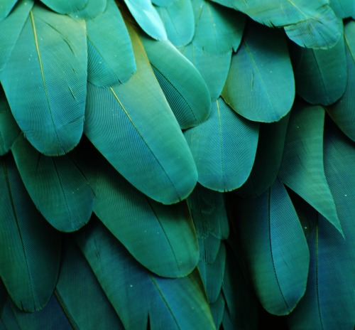 "michaelfitzsimmons:  ""Macaw Feathers XIX"". Photo by Michael Fitzsimmons. Full portfolio at www.500px.com/MFitz"