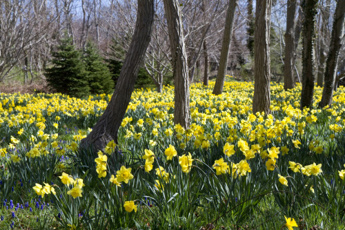 Daffodil Forest 2013 (by brucetopher [catching up on old photos])