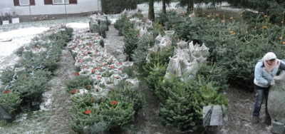 smarterplanet:  Living Christmas trees, delivered and replanted for free Christmas trees are considered an integral part of the festive season for many, but most vendors sell trees that have already been cut down, meaning that by the time they reach peoples' living rooms the decomposition process is well underway. Local authorities in Paris have already made an effort to make the industry more sustainable by crushing and replanting the trees as fertilizer in public locations, but our latest spotting is encouraging consumers in Austria to purchase a Living Christmas Tree that can be picked up and replanted after the season is over. READ MORE…  We encourage living trees too! That's why we don't sell cut trees anymore.
