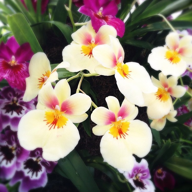 nicolekirstiesmith:  Beautiful and fragrant pansy orchids @nybg #orchidshow (at New York Botanical Garden)