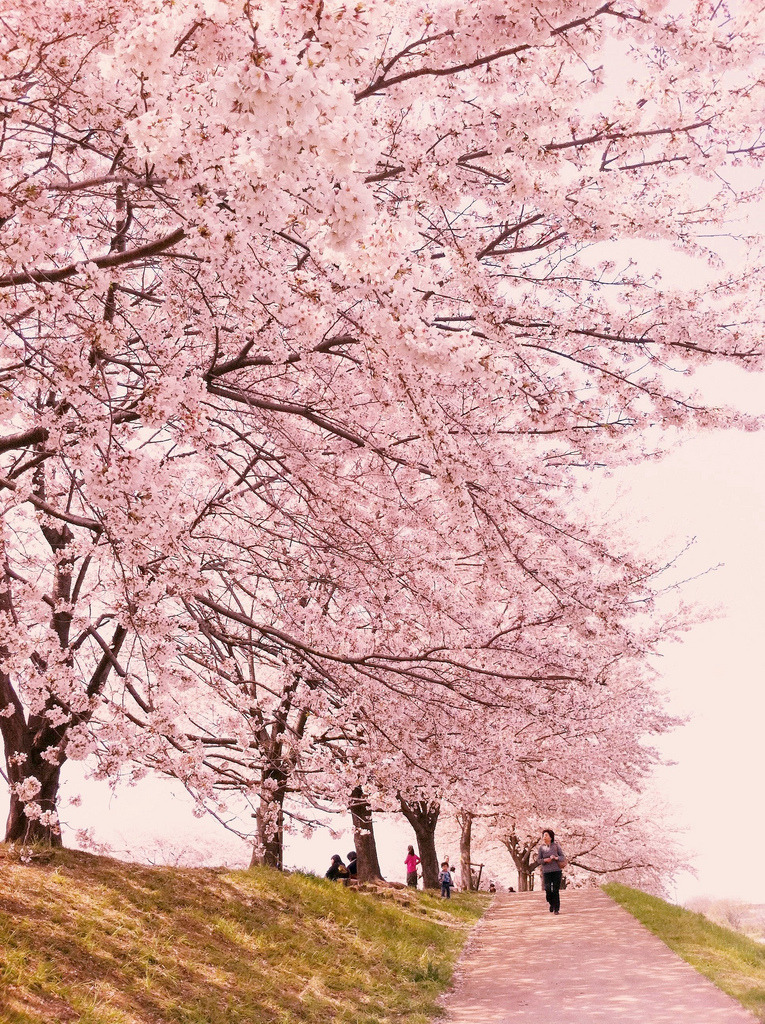 ethertune:  Sakura road (By ARCHiPhone)