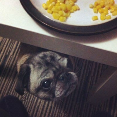 You gonna share that? #pet #pug #pugs #petstagram #pugstagram #greedypug