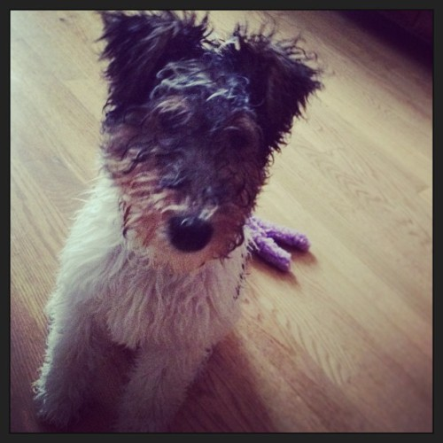 dyatloving:  Soaked pup #asta #puppy #rain #wire fox terrier  SO CUTE
