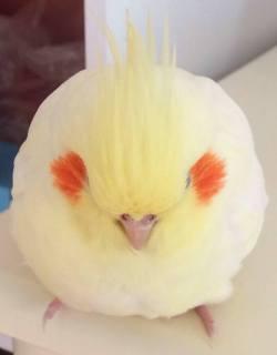 bird cockatiel parrot tiel birb Round bird