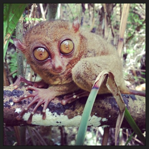 instagram:  The Philippine Tarsier Sanctuary in Corella  Want to see more? Be sure to visit The Philippine Tarsier Conservatory location page on Instagram!  The Philippine Tarsier Sanctuary in Corella, Bohol, is owned by the non-profit Philippine Tarsier Foundation, whose mission is to save the tarsiers. The Sanctuary gives visitors the opportunity to see these tiny tarsiers up close, learn more about the species and take photographs of them as they live freely inside a protected forest. All fees collected from visitors support conservation efforts.  Tarsiers, one of the smallest primates, have thrived in rainforests around the world for the past 45 million years; however, the tarsier population has drastically dwindled since the 1960s as a result of habitat loss, hunting, pesticides and human disturbance. Today, the Philippine tarsier exists only on a few islands in the Philippines, Indonesia and Borneo. Once a common sight on the Philippine island of Bohol, the tarsier is now on the endangered species list.