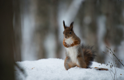 theicekingdom:  Woodland Squirrel | Source