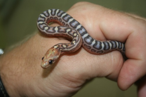 snake-lovers:  Scaleless Pantherophis guttatus