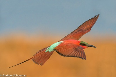 """Floating on Air"" A Carmine Bee Eater floating in on the afternoon breeze to land at its nesting site on the banks of the Zambezi river in Namibia, each year thousands of these birds migrate South in search of nesting sites."