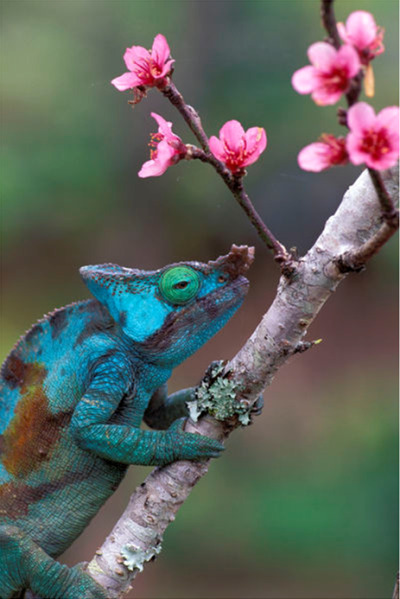 "eqiunox:  ""CHAMELEON AND PEACH FLOWERS"" by Wolfgang Kaehler          The most beautiful things come.from mother nature"