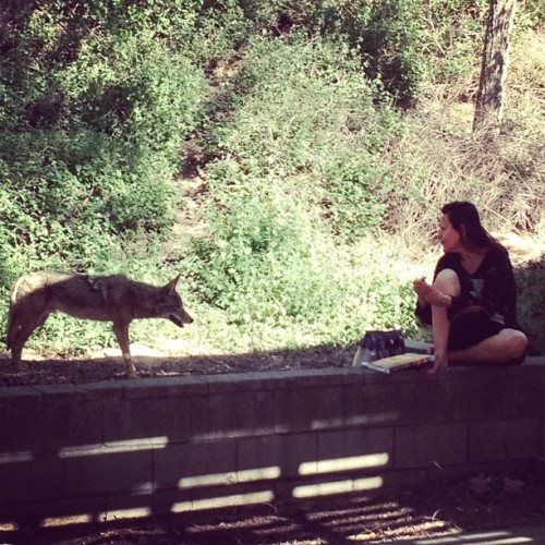 About to become lunch in Groffith Park #coyote #lunchtime #losfeliznoir