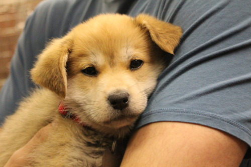 todayspuppy:  Jiva is a Shiba Inu / Yellow Labrador Retriever mix puppy with a bubbly personality. She loves to listen to great music and tries to sing along.
