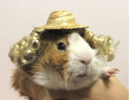 GUINEA PIGS GET THEIR GLAMOUR ONby Parry Ernsberger http://hellogiggles.com/guinea-pigs-get-their-glamour-on