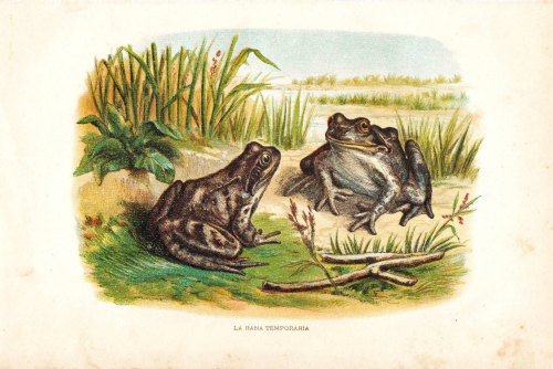 Frogs Antique Print 1891 Chromolithograph at CarambasVintage http://etsy.me/Zk88tJ