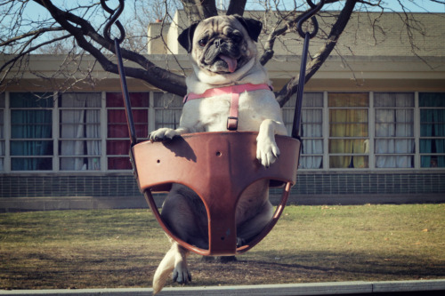 cuddlepugs:  Come push me mom!