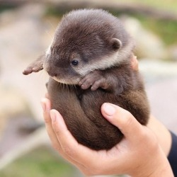 Baby Otter auf We Heart It. http://m.weheartit.com/entry/51038321/via/Abella_