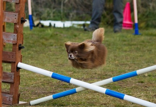 leslizzrables:  My local agility class has a dog that is definitely also a toaster.