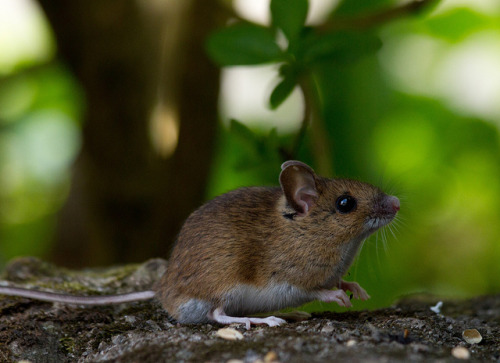 Long-tailed Fieldmouse by Mukumbura on Flickr.