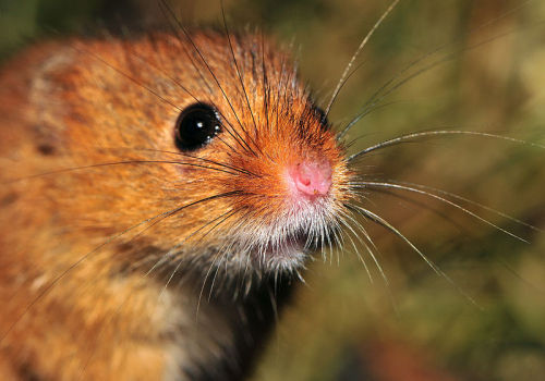 An enraged Harvest Mouse (Micromys minutus) threatens and charges the photographer and his friends… there were no survivors. Whatever you do… you must never watch the footage on this tape. (photo: Michael Gäbler)