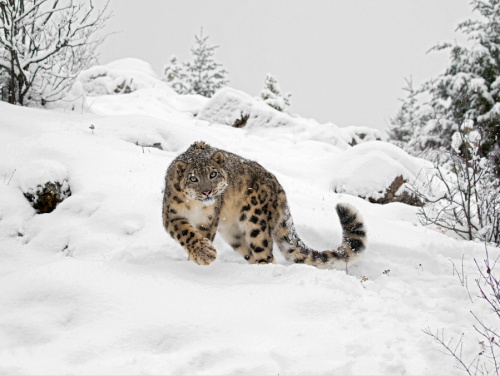nature-madness:  Snow Leopard