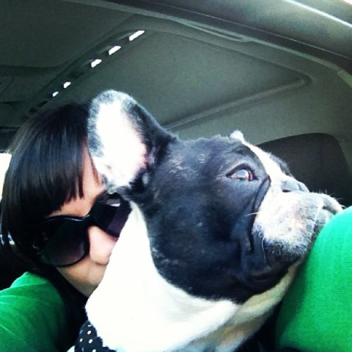 #pure #frenchie #love