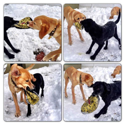 Tug-a-War between Sequel & Stanley. In the background Stella digs in the snow for her tennis ball.