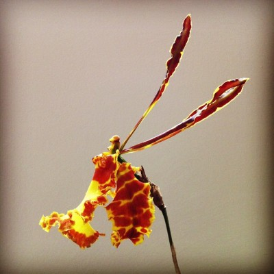 Huge, gorgeous blossom of the butterfly orchid (Psychopsis mendenhall)