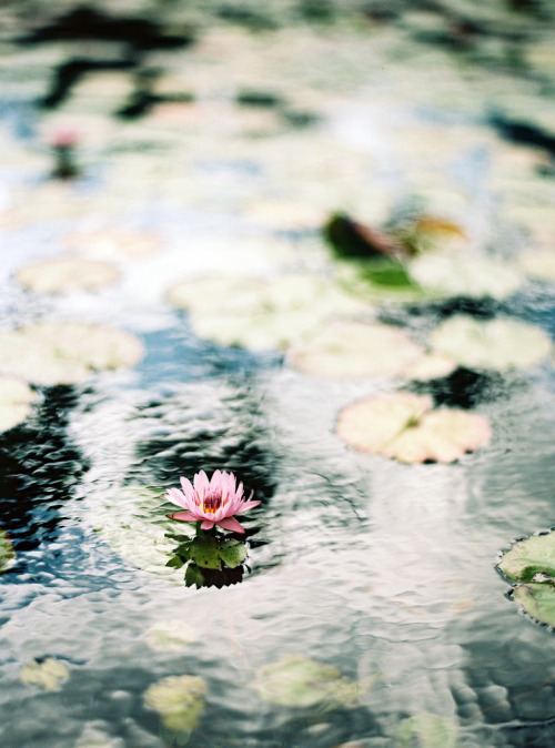 languidity:  lily pond (by the cheshire smile)