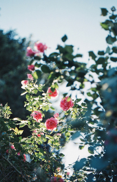 ohmr:  Roses#2 by N+T* on Flickr.