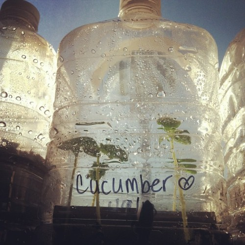 We repurposed water jugs for seed starting. Mmm… Cucumbers…