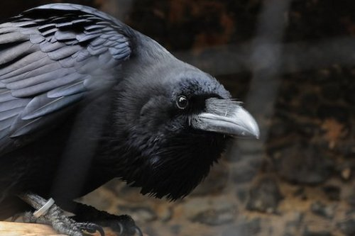 Animal Consciousness: Corvids Demonstrate a Sense of Fairness  a pair of biologists at the University of Vienna trained six carrion crows and four ravens to exchange pebble tokens for food. The researchers then created same-species pairs for a series of experiments. When the birds saw their partners getting food for free, without having to exchange tokens, they tended to exchange tokens less often. Sometimes the birds that got the short shrift even gave away tokens, but refused to take their reward. Other research has suggested that a sense of equity evolved several times in unrelated animals, the University of Vienna researchers write. Knowing what's fair is linked to cooperative behavior in species, they say, and that makes sense with crows and ravens, which form alliances and share food and information.  (via New Study Says Unfairness Really Ruffles Crows' Feathers | Popular Science)
