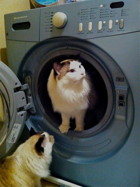 "thefluffingtonpost:  EXCLUSIVE: Cat Reveals Secret Behind Fluffy Coat Mendel is no stranger to the cat walk. His fluffy fur coat has been on fashion runways from New York to Milan, and for years its thickness and sheen have been a trade secret. But no longer. In an exclusive interview with The Fluffington Post, Mendel's personal assistant revealed just how he achieves such a luxurious mane. ""His sister Sweet Pea runs him through the spin cycle about once a week,"" says Chester Logan, who has worked with the fashionable cat for a little more than six months. ""It's the gentle cycle of course. After a tumble in the dryer, he comes out looking pretty lush."" Submitted by Emily Booth Varan."