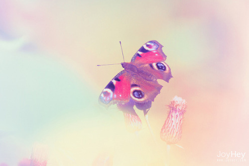 lovepastels:  Pastel Butterfly by JoyHey on Flickr.
