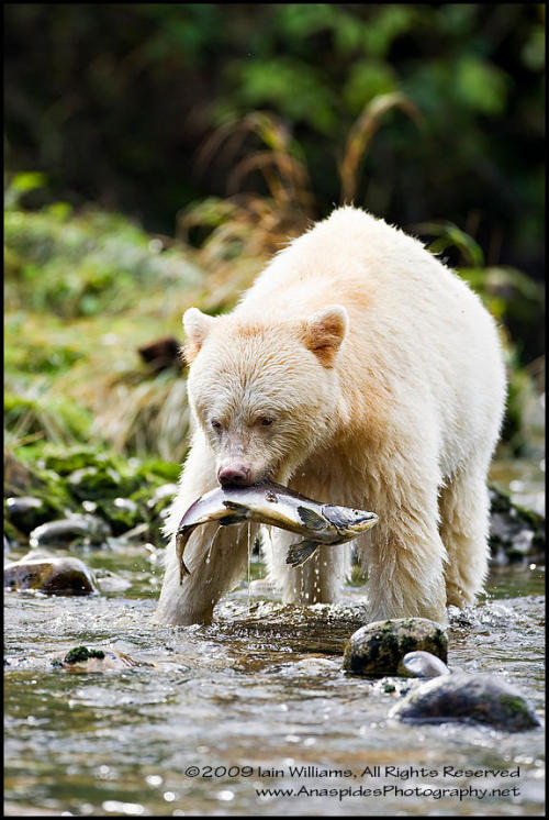 magicalnaturetour:  Spirit Bear – Coastal British Columbia, Canada   Source