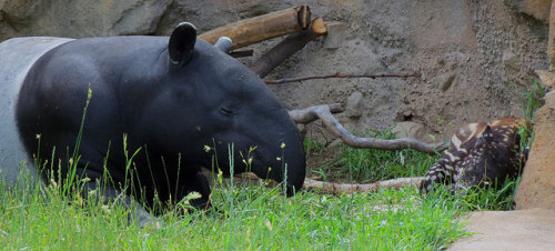 tapirlove: