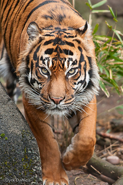 funnywildlife:  0903_WP_Zoo_29_169 by Bodokitty on Flickr.Male Sumatran Tiger (Panthera tigris sumatrae) at Woodland Park Zoo - Seattle