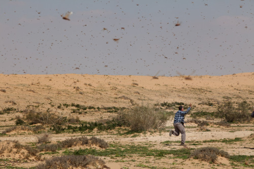 INFESTED: An Israeli man ran through a swarm of locusts over the Negev desert in Kmehin, Israel, Wednesday. Egypt and Israel have been swarmed with millions of locusts over the past few days. (Uriel Sinai/Getty Images)